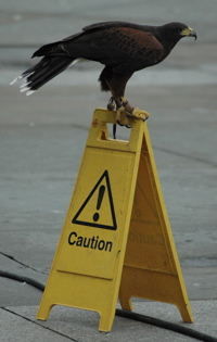 A hawk on a danger sign