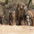 Real India: a land soon without tigers, and maybe orchids